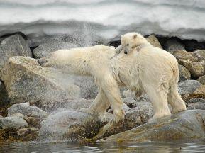polar-bear-svalbard_33993_990x742