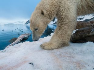 polar-bear-whale-bone_36889_990x742