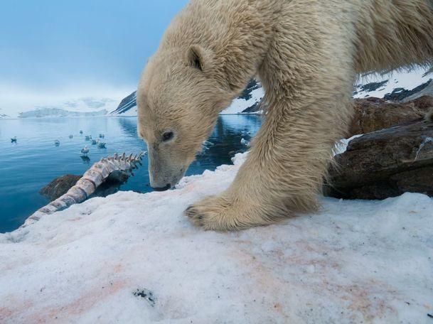 polar-bear-whale-bone_36889_990x742