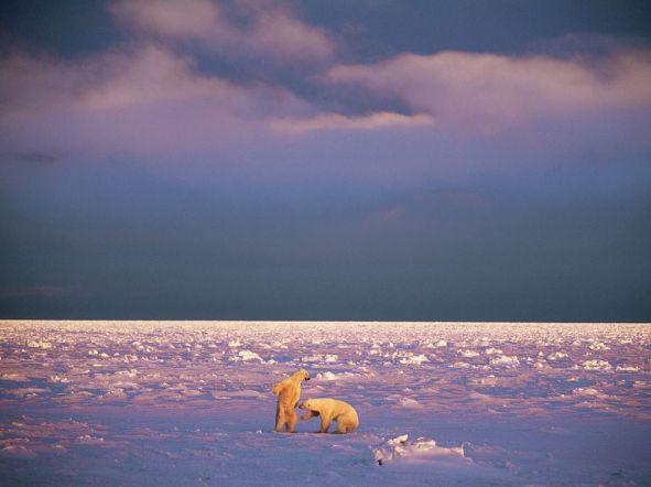 polar-bears-canada-nicklen_43458_990x742