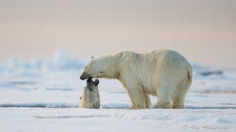 Polar bears. Copyright © Roy Mangersnes.
