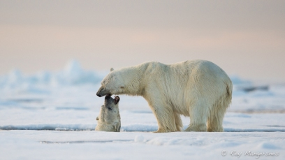 Polar bears. Copyright © Roy Mangersnes.