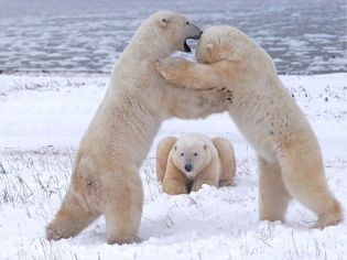 polar-bears-playing-canada_10935_990x742