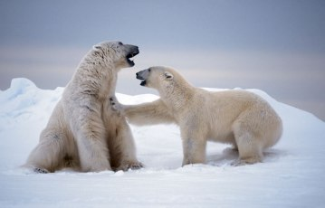 Polar_bears_East_Svalbard_Norway - Photograph by Paul Nicklen