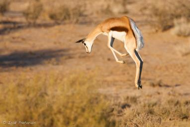 Pronking Springbok - Isak Pretorious Wildlife Photography