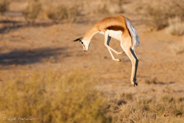 Pronking Springbok - Isak Pretorious Wildlife Photography