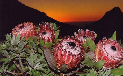Protea Magnifica