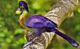 Purple Crested Lourie