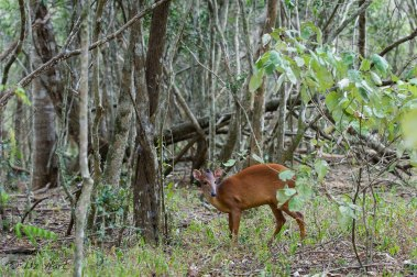 Red Duiker - Photographed in the Sand Forest at Phinda Forest Lodge, Phinda, South Africa