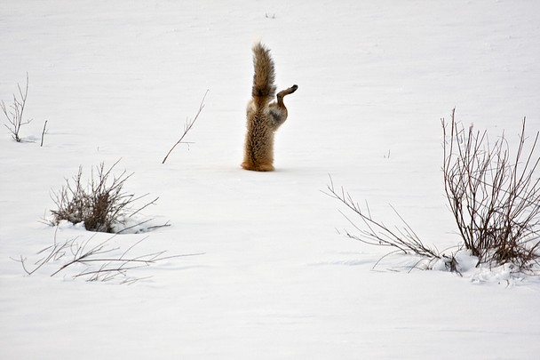 Red Fox after mouse