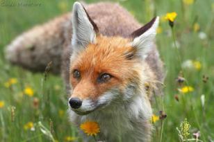 Red Fox alert - Guido Muratore