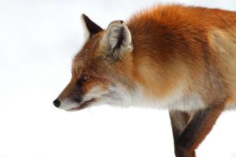 Red Fox - Guido Muratore