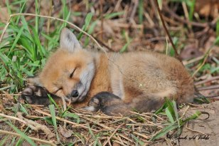 Red Fox pup sleeps - Photo Hank vd Velde