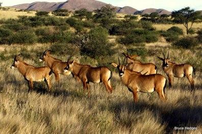 Roan Antelope at Tswalu