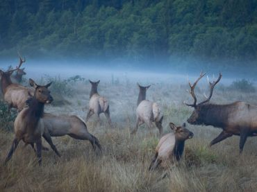 roosevelt-elk-cows_6332_990x742