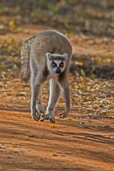 Running Lemur