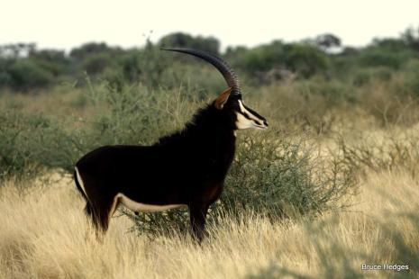 Sable Bull - Tswalu