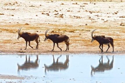 Sable by Paula - Safarious