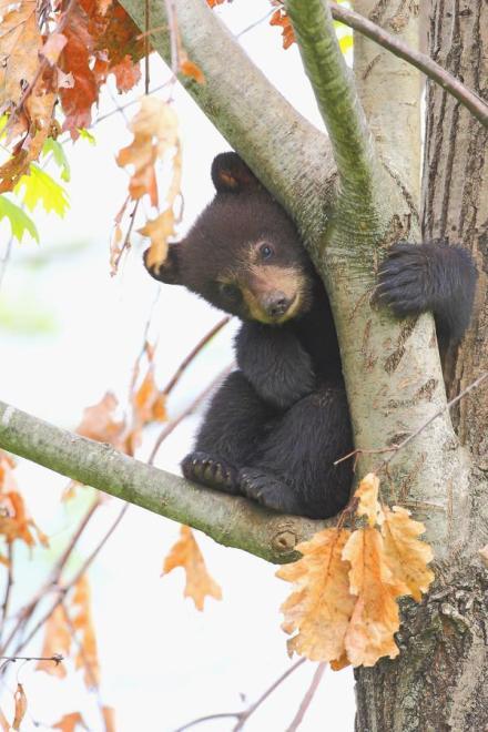 shy-bear-denis-dumoulin