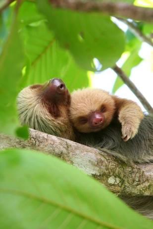 Sleeping sloths