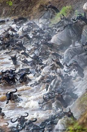 Some wildebeest migration mayhem captured by Gerry van der Walt.