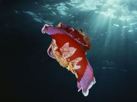 spanish-dancer-nudibranch-doubilet_22931_990x742