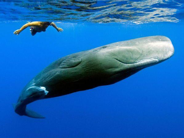 sperm-whale-swimmer_6336_990x742