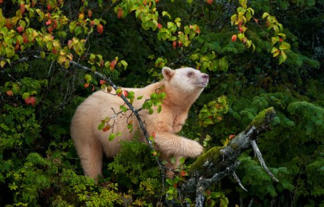 Spirit_bear_in_trees - Photograph by Paul Nicklen