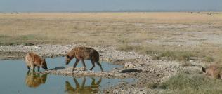 Spotted Hyena, Amboseli NP, Kenya - William Roman Sena