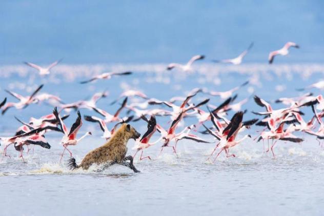 Spotted Hyena (Crocuta crocuta) hunting flamingos through shallow waters of Lake Nakuru, Kenya © Elliott Neep