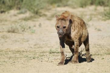 Spotted Hyena - Crocuta crocuta