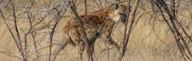 Spotted Hyena in Zambezi NP, Chongwe, Zambia - Copyright 2012 Lion Encounter