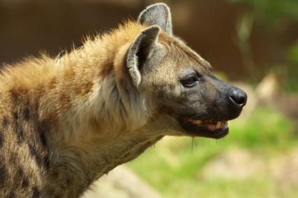 Spotted Hyena - Photo by kazn21