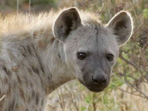 Spotted Hyena Photo © Scotch Macaskill