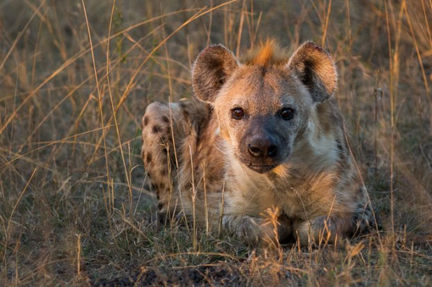 Spotted hyena waiting