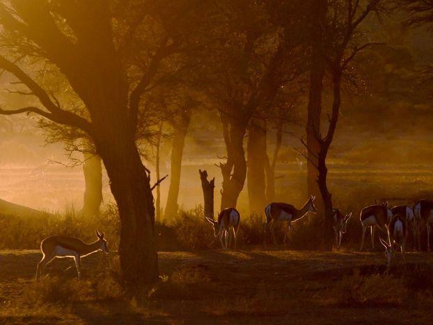 springbok-gazelles-south-africa_47915_990x742