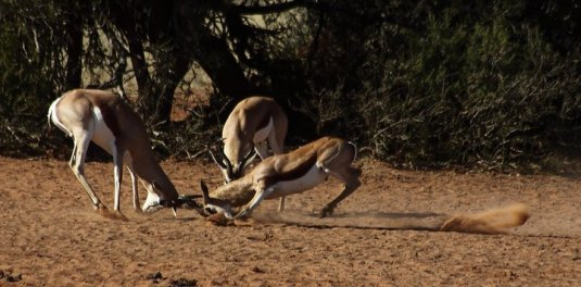 Springbok males fight for territory.