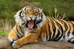 Sumatran Tiger - Photo © Copyright Don Paulson