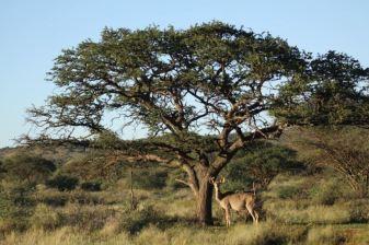 Sunset @ Mokala National Park. Kudu (Tragelaphus strepsiceros)