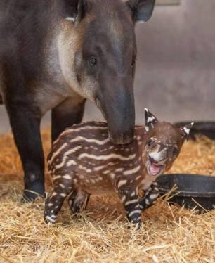 Tapir and young