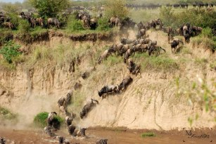 The chaos of the Wildebeest Migration by Mariam Faruqui - AFRICANature