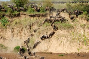 The chaos of the Wildebeest Migration by Mariam Faruqui.
