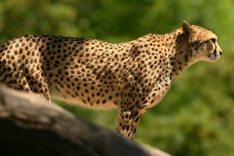 The cheetah (Acinonyx jubatus)