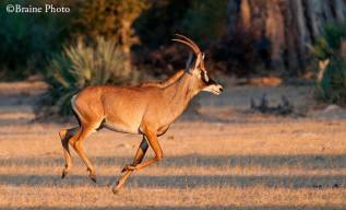The endangered and rare Roan Antelope, photo by Sean Braine