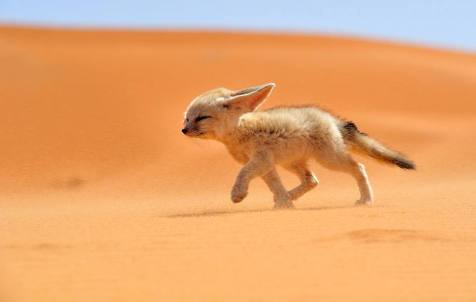 The fennec, or desert fox, is a small nocturnal fox found in the Sahara Desert in North Africa.