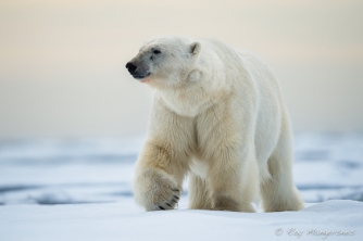 The king of Arctic. Copyright © Roy Mangersnes.