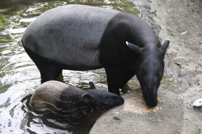 The Malayan tapir (Tapirus indicus), also called the Asian tapir, is the largest of the four species of tapir and the only one native to Asia.