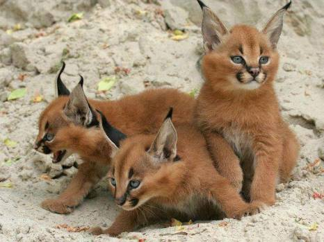 These are desert lynx kittens