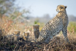 Three of the four young cubs, peer over the watchful mother's back. Kate Neill