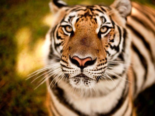 tiger-chiang-mai_35660_990x742